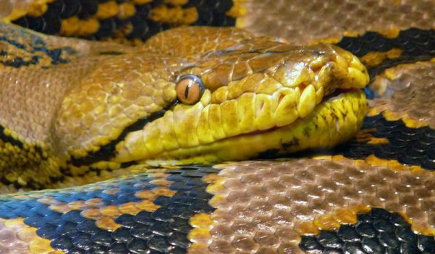 Virgin Birth Discovered In The World's Largest Snake - Biology