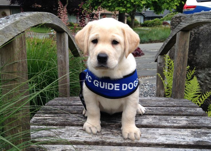 Guide dogs change the lives of blind and visually-impaired individuals in many important ways. Learn more, in this amazing post from BC & Alberta Guide Dog Services / Autism Support Dogs #Charity #Dogs #CanadaHelps