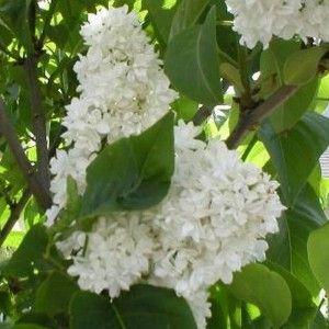 Syringa vulgaris 'Madame Lemoine' - Lilas blanc parfumé - Lilas commun à fleurs doubles