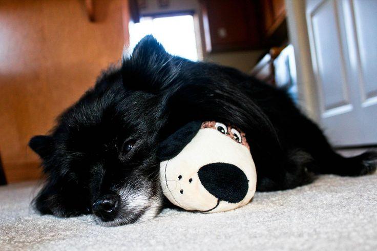 My soulmate <3, black Pomeranian