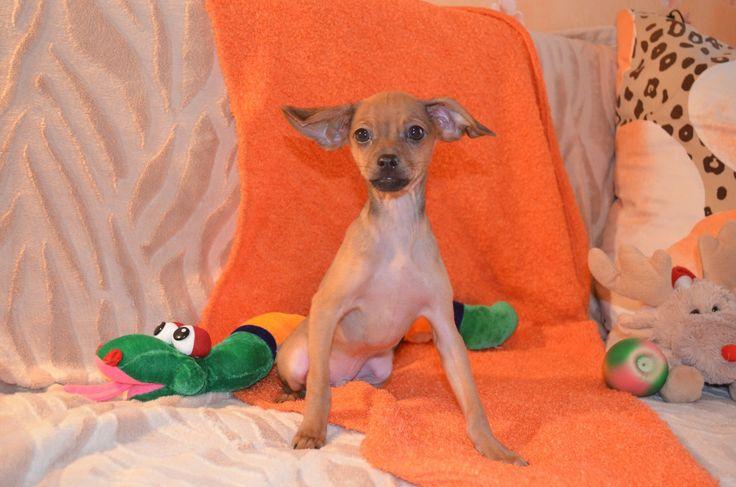 Süße Russische Toy-Terrier Welpen zu... (Frankfurt am Main) - Zwergpinscher - dhd24.com