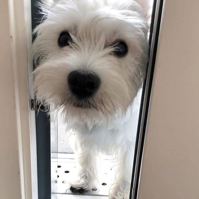 CLICK the link in our bio @westiemoments to shop designer westie products Made in the USA International delivery . credit: @westie_axelgamestar . Tag a friend who loves westies❤ .