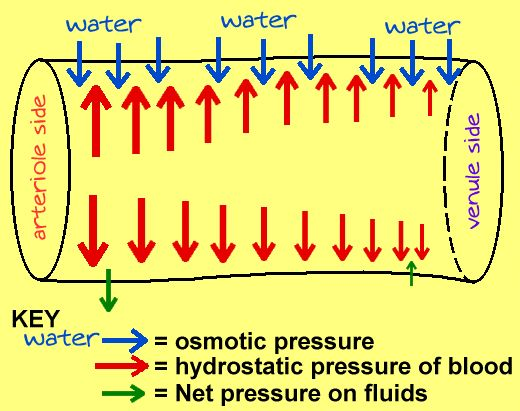 Fluid Exchange- Net Hydrostatic pressure- Net Osmotic pressure=Net filtration pressure