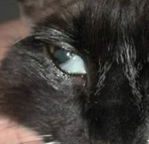 Cat Eye Infection and other Cat Eye Problems | Ask The Cat Doctor