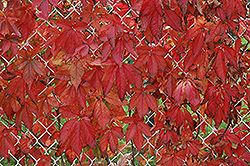 Click to view full-size photo of Englemann Ivy (Parthenocissus quinquefolia 'var. englemannii') at Bachman's Landscaping