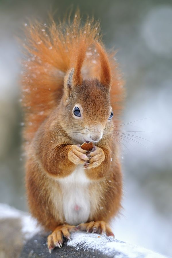Un petit écureuil roux qui vient se nourrir l'hiver seulement...