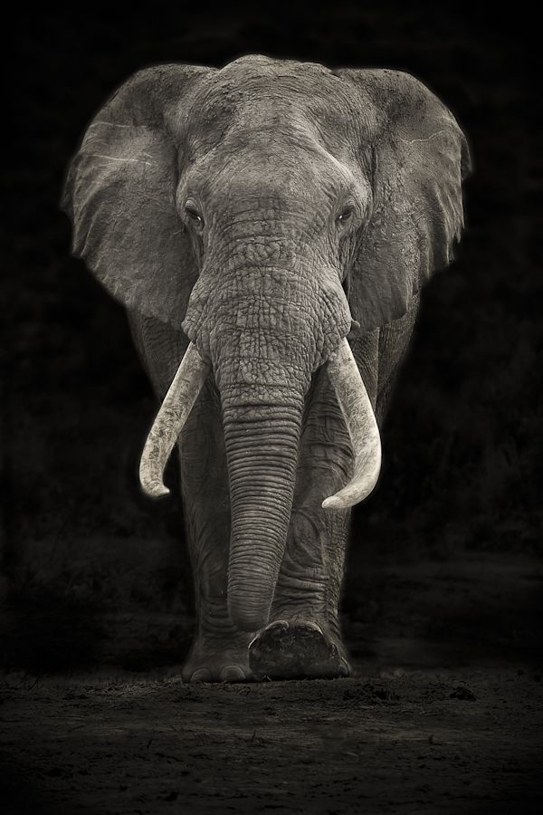 """A large Elephant Bull ( Loxodonta Africana ) approaching Hapoor Dam in Addo Elephant National Park in South Africa's Eastern Cape. This is the park's only large """" Tusker """", a term used to define elephant bulls with extremely large tusks. Mario Moreno."""