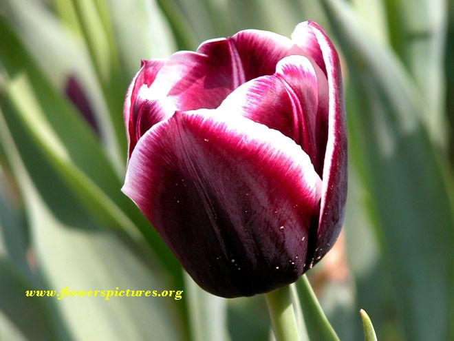 Gallery For > Purple Tulip Flower Images