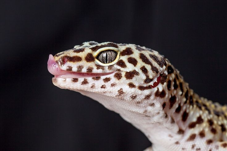 How To Care For A Leopard Gecko Care Gecko Leopard Leopard Gecko Leopard Gecko Care Pet Lizards