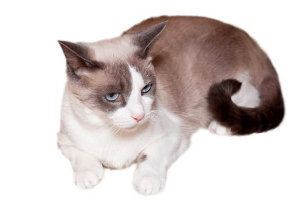 "Snowshoe cats, known for their blue eyes and white ""snowshoe"" feet, act more like people than cats. These intelligent felines can learn tric..."