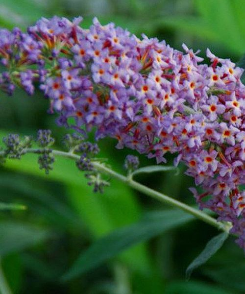 19 Best Garden Lilacs Amp Butterfly Bushes Images On