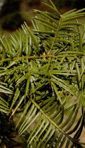 Yew - Torreya Taxifolia