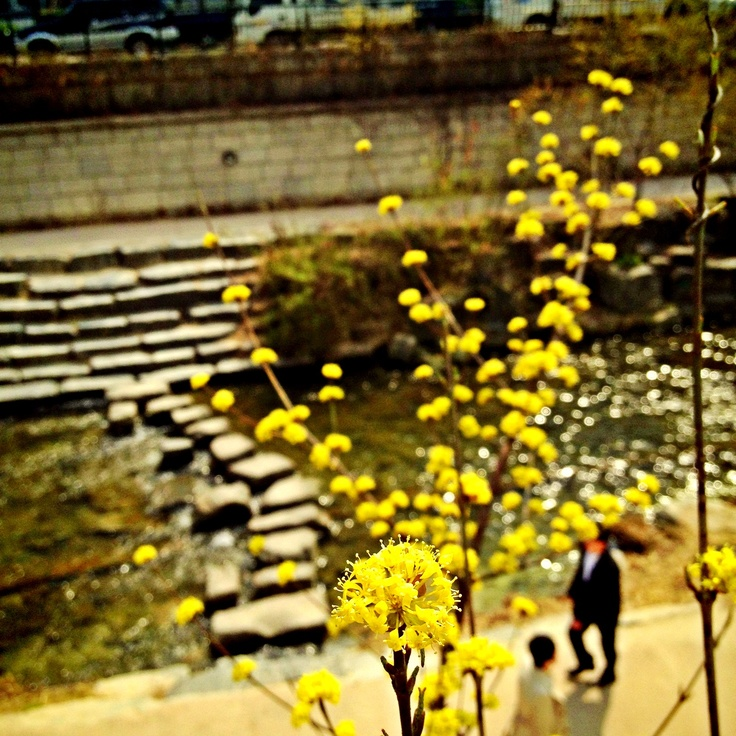 청계천에 다시 봄봄봄!!