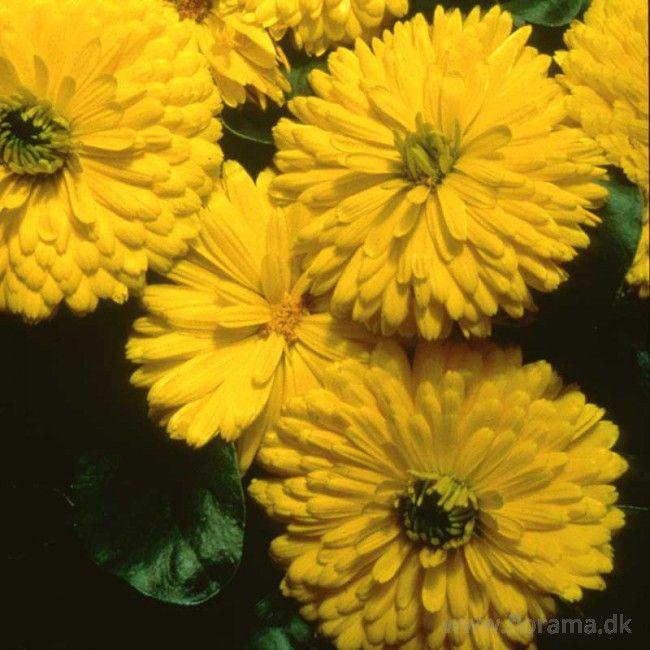 Morgenfrue 'Bon-Bon Yellow'