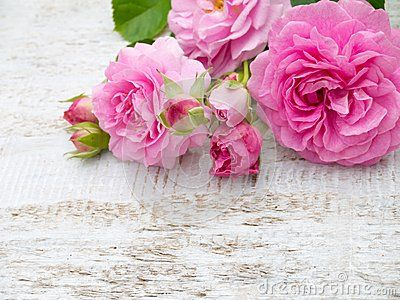 Pink roses on the white rustic background