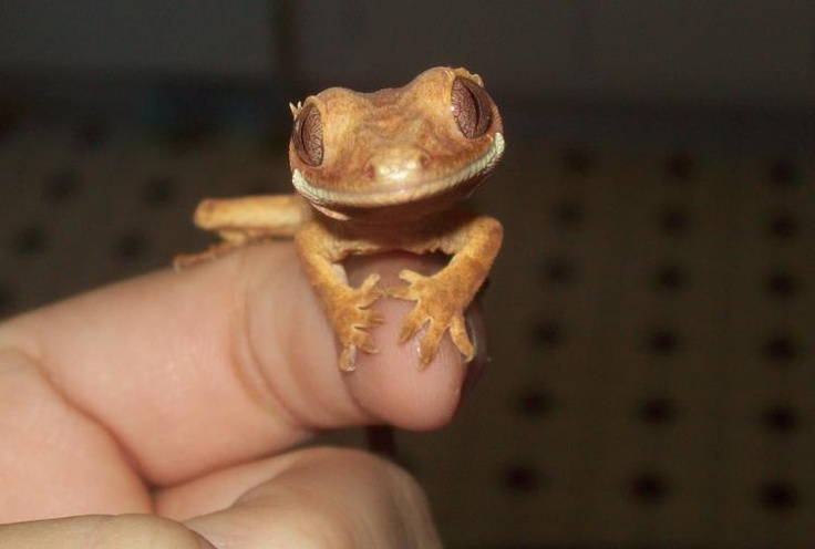 Adorable baby Crested Gecko