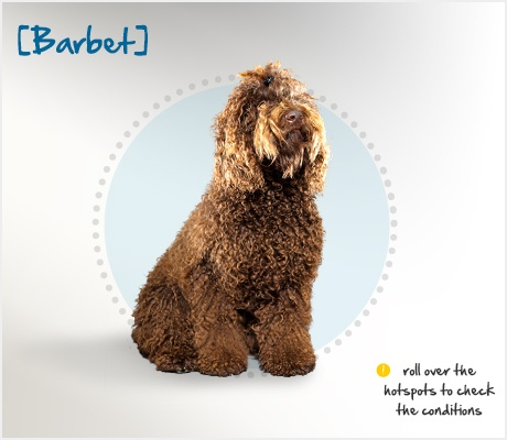 """The Barbet, or French Water #Dog, is an ancient breed, with earliest references dating back to the 14th century. His name comes from the French word """"barbe,"""" which means beard, and indeed he does sport a wiry beard. #dog-breed"""
