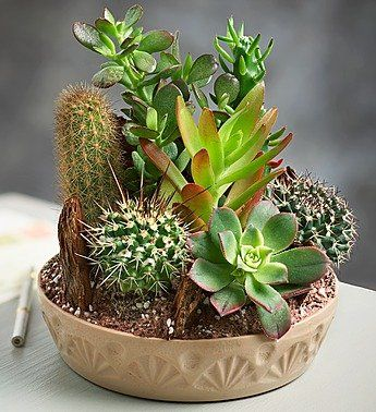 1-800-Flowers - Cactus Dish Garden - Large