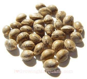 What Are Feminized Marijuana Seeds?