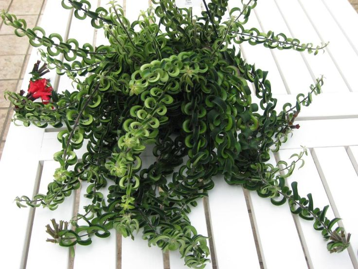 Aeschynanthus twister flowers plants trees vases pinterest shadow plants plants and - Indoor potted flowers ...