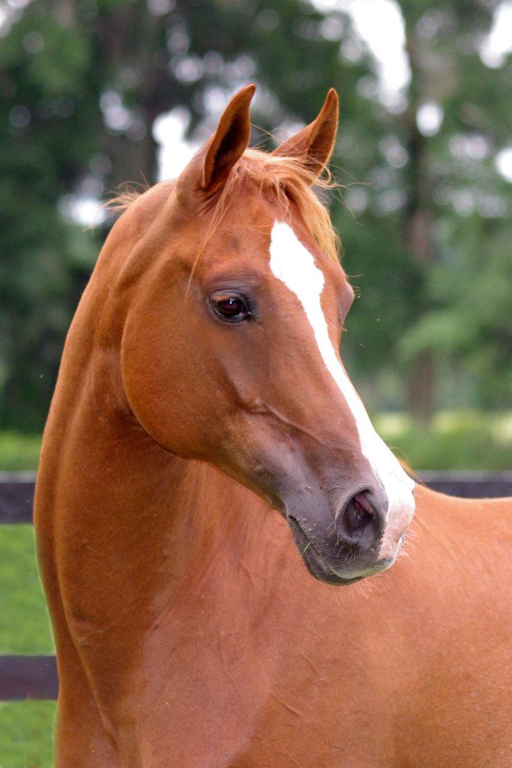 Arab Mare Horses, Chestnut horse, Pretty horses