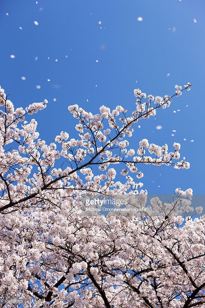 Petals Falling From Cherry Blossom Tree Blossom Trees Cherry Blossom Tree Cherry Blossom