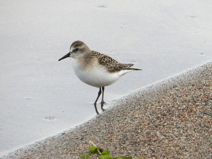Semipalmated Sandpiper / Bécasseau semipalmé - Ivanhoe Lake Provincial Park (August 2014)   This little sandpiper left his far north tundra breeding ground and stopped at Ivanhoe Lake Provincial Park's beach to feed.  He will soon be on his way to South America where he'll spend the winter.