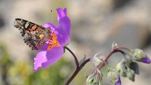 """El fenómeno climático de """"El Niño"""" cubrió de flores el desierto de Atacama La floración se debe al fenómeno climático de El Niño, que impactó con mayor fuerza este año.Foto:AFP"""