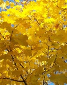 If you want to see AMAZING #yellow leaves like this, you MUST come to #Daylesford! It really is the place to be in Spring.