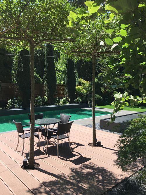 Junge Amberbäume (Liquidambar Styraciflua) In Dachform Gezogen Als  Natürliches Sonnendach über Dem Sitzplatz Am