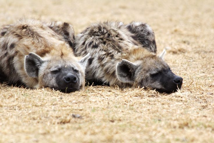Hyenas - South Africa 2012