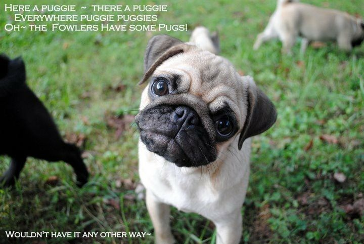 Pin On A Grumble Of Pugs