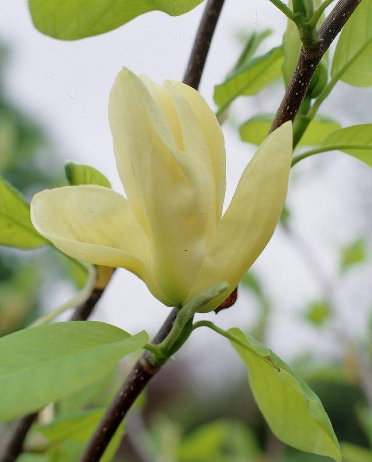 Magnolie 'Elizabeth' • Magnolia 'Elizabeth' • Pflanzen & Blumen • 99Roots.com
