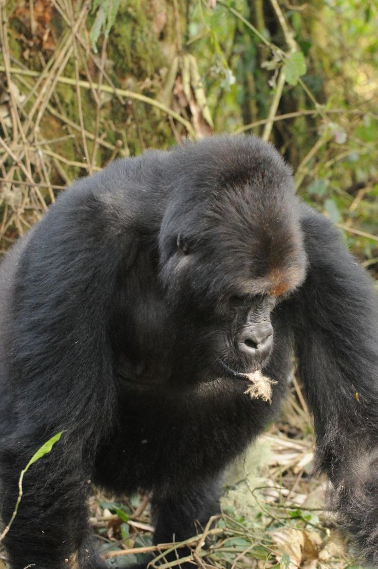 For hunters, apes are easy targets. Unlike chimpanzees, which travel through the trees, Grauer's gorillas move around in groups on the ground, leaving large, trackable footprints. With hordes of hungry, gun-toting humans traipsing about their forest, it's no wonder these animals are now on the brink of disappearing.