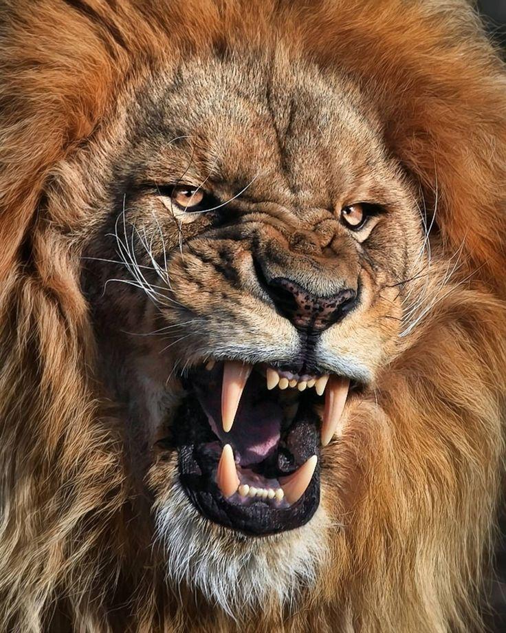 Resultado de imagen para angry lion