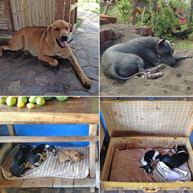 Les chiens à la Finca Montania Sagrada, un bed & breakfast situé à Mérida sur l'île d'Ometepe (Nicaragua).