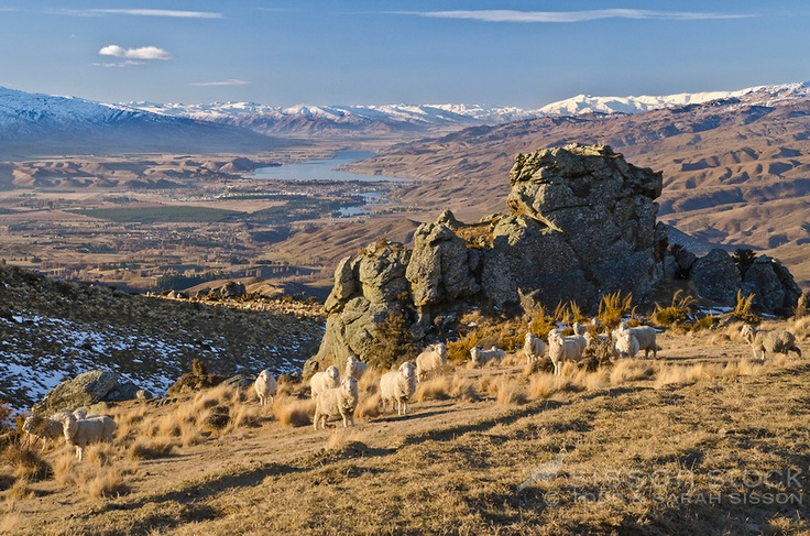Merino sheep graze the Nevis Valley road. Lake Dunstan, Cromwell & snowy mountains in background, Central Otago, South Island, New Zealand