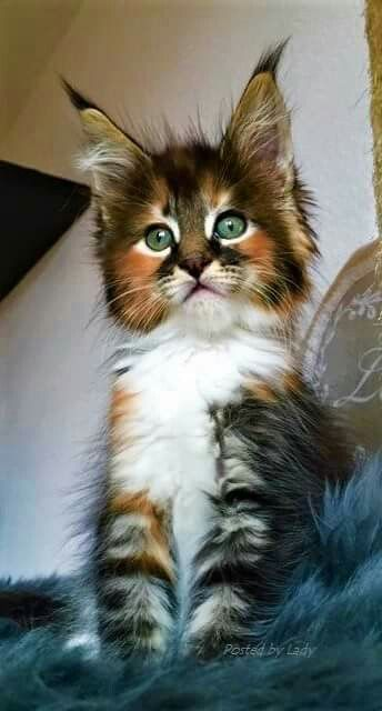 Maine Coon calico  cat