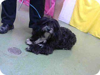 San Bernardino, CA - Havanese Mix. Meet URGENT on 5/3 @DEVORE San Bern, a puppy for adoption. http://www.adoptapet.com/pet/18050722-san-bernardino-california-havanese-mix
