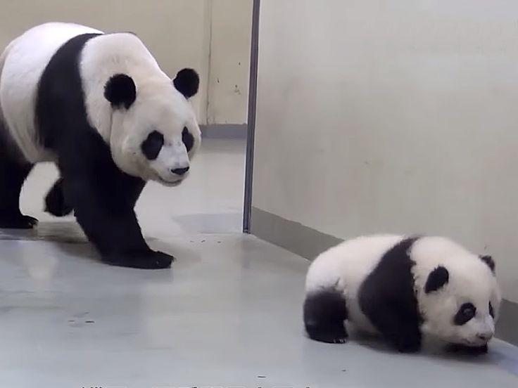 YouTube: panda bebé no quería ir a dormir, hasta que llegó su mamá
