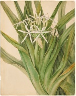 Swamp Lily - John Lewin