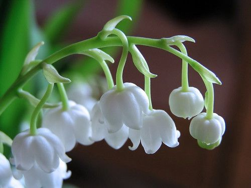 Lily of the Valley (Convalleria majalis) Uses: Groundcover, Fragrance, Cutting Bed Propagation: Division, Seeds Habit: Creeping Light: Part Shade, Full Shade Flower Color: WhiteBlooms Spring Width: 1