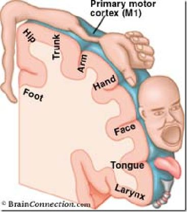motor homunculus brain netter - Google Search