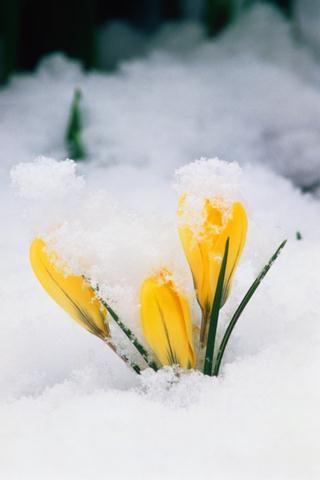 Açelya Çiçeği Açelya yada açalya (lat.azalea; yun.adzeleos,kuru' dan). Değişik renklerdedir ve bol çiçekli olmasından dolayı çok beğenile...