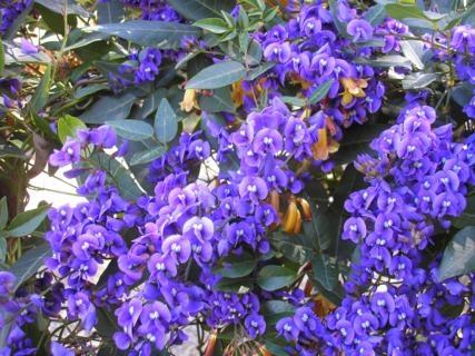 Hardenbergia comptonianaEdna Walling® Wild Wisteria™ Climber