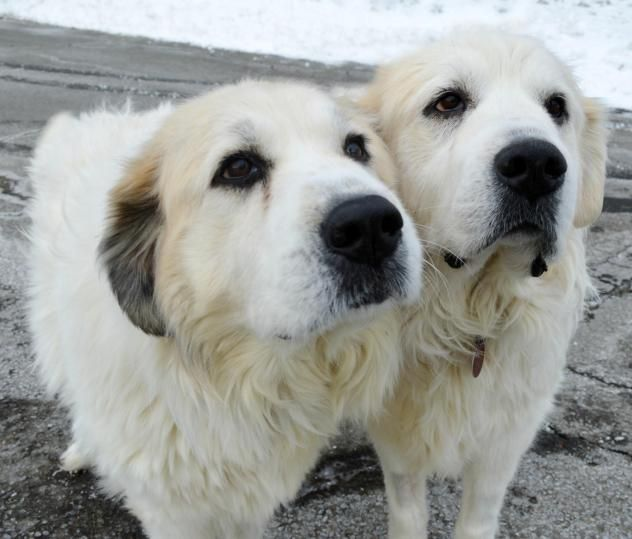 Gigi And Lucy Great Pyrenees Sisters