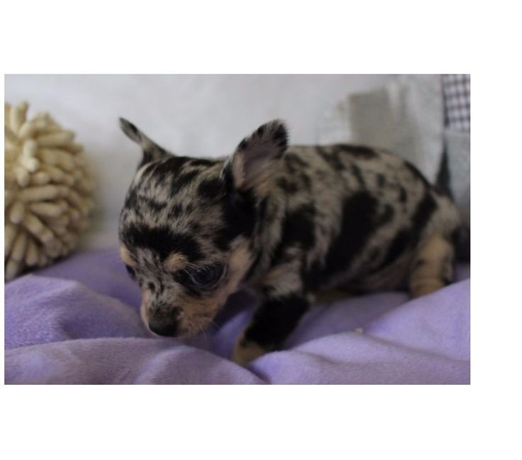 Chiot Femelle Chihuahua Bleu merle - Achat & vente animaux Galmaarden - 1570 avec Vivastreet