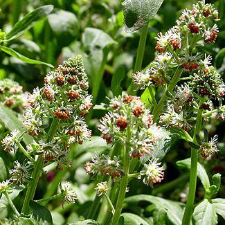 Mignonette (Reseda odorata grandiflora)