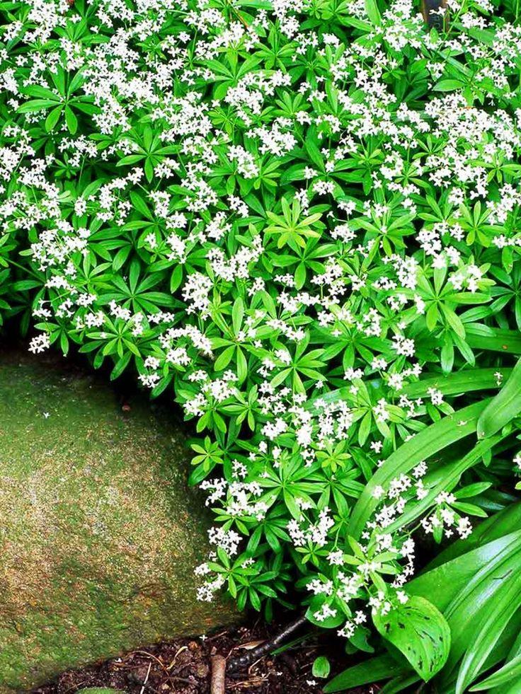 Myskmadra, Galium odoratum