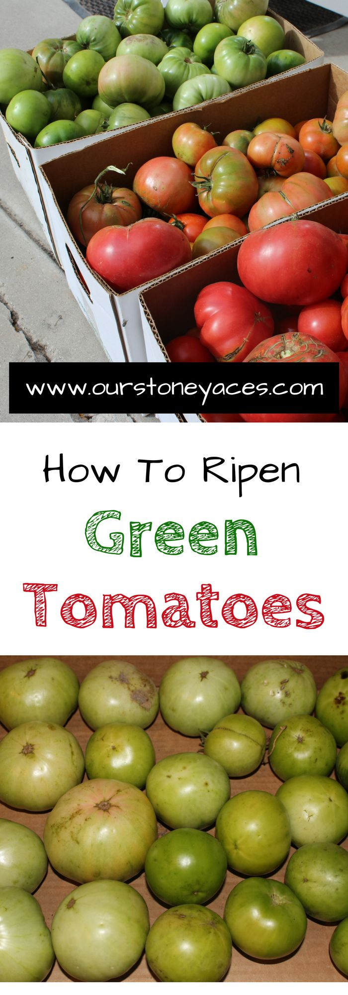 How to Ripen Green Tomatoes.  As Fall progresses and tomato season comes to and end you can use these tips to learn how to ripen green tomatoes.